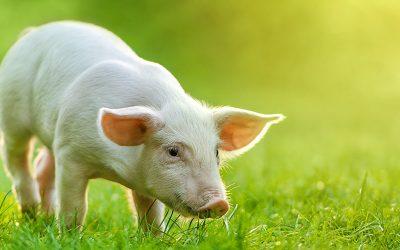 Skarmianie trzody świeżym zbożem, a wpływ na układ trawienny.