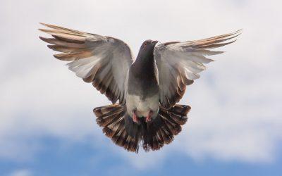 Idealnie zbilansowana karma dla gołębi pocztowych.